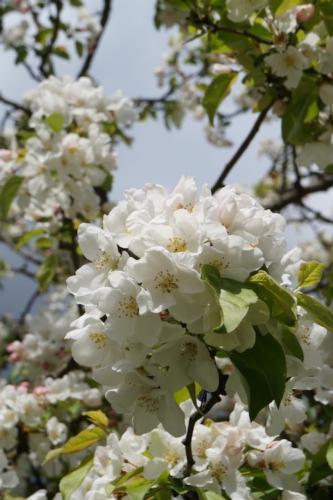 melo-albero-fiore-fiori-by-familmarche-fotolia-750