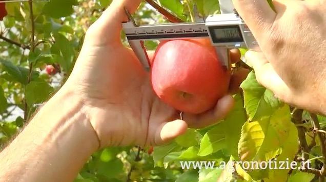 melo-frutticoltura-calibro-calibit-hk-fonte-barbara-righini-agronotizie