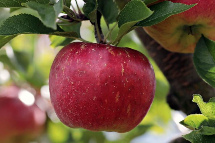 Più innovazione nella mela del futuro - Plantgest news sulle varietà di piante