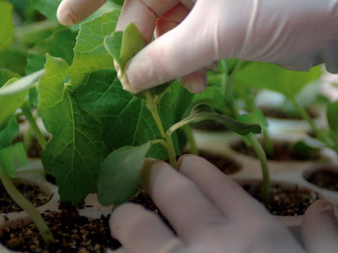 I portinnesti nati dalla ricerca syngenta agronotizie for Pianta di melone