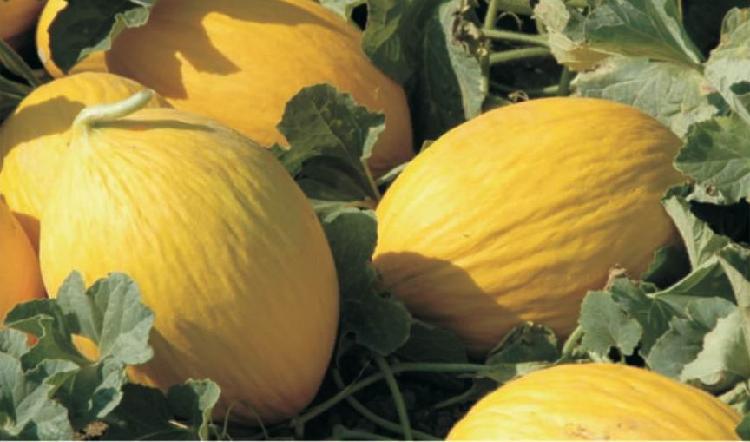 Convegno nazionale sul melone giallo agronotizie for Pianta di melone