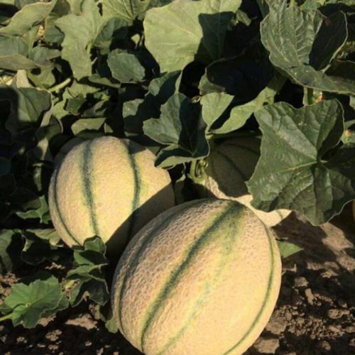 Cucurbitacee, la concimazione fattore chiave per raccolti eccellenti - le news di Fertilgest sui fertilizzanti