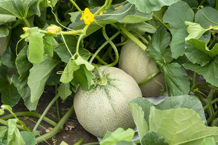 Terreni stanchi? Le soluzioni Fomet per la coltura del melone - le news di Fertilgest sui fertilizzanti