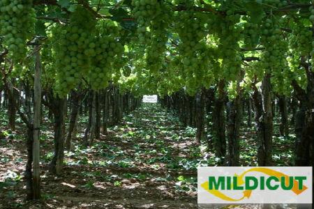 mildicut-belchim-antiperonosporico-uva-da-tavola-450.jpg