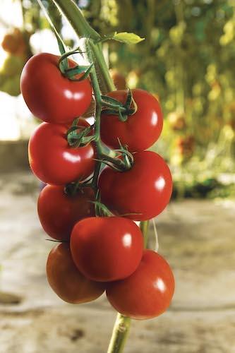 Modykano: il pomodoro a grappolo tutto italiano - Plantgest news sulle varietà di piante
