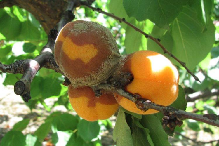monilia-albicocco-750x500-ceredi