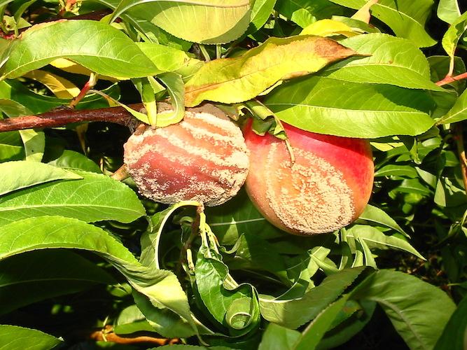Drupacee: visita tecnica e convegno sulla gestione della moniliosi