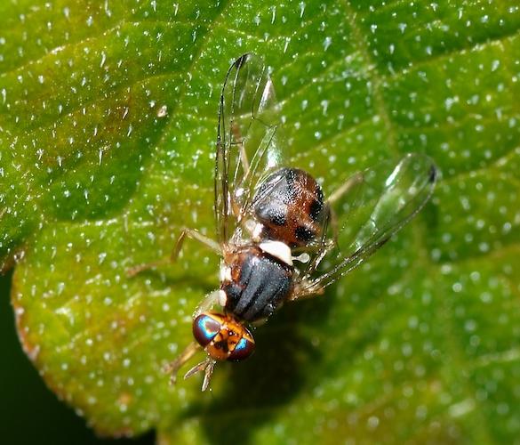 mosca-dell-olivo-bactrocera-oleae-credits-di-alvesgaspar-opera-propria-cc-by-sa-link-commons-wikimedia-3207026-585x500