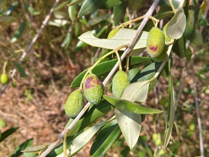 mosca-olive-danni-pianta-olivo-by-matteo-giusti-agronotizie-jpg