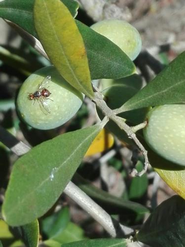 mosca-olive-fonte-cia-siena