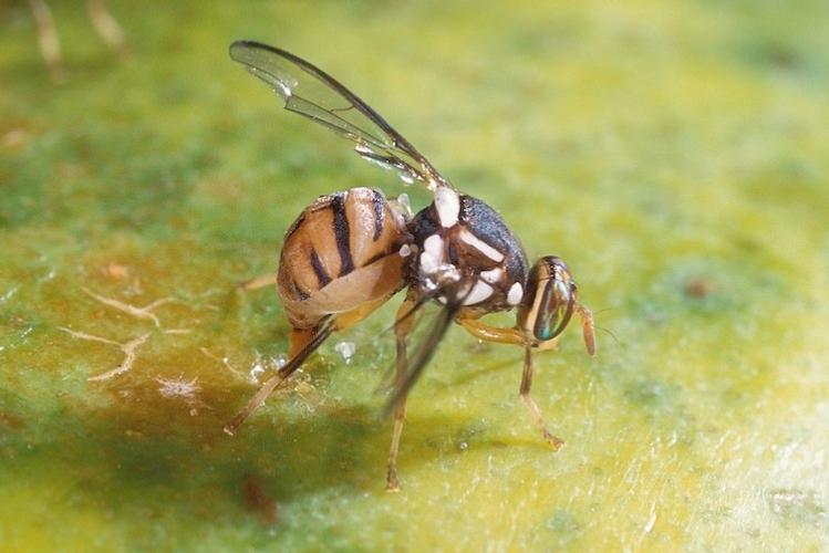 mosca-orientale-della-frutta-bactrocera-dorsalis-by-scott-bauer-wikipedia-750x501