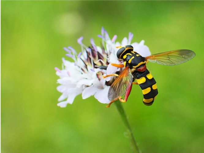 mosca-sirfide-by-evkamat-wikipedia-jpg