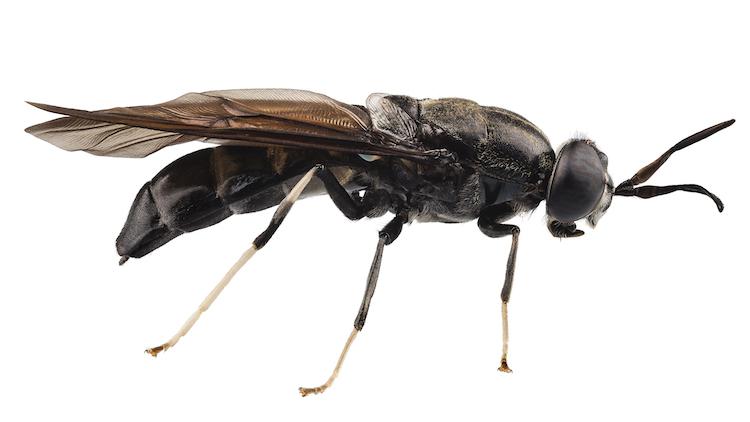 mosca-soldato-nera-secondo-art-apr-rosato-fonte-giuseppe-tresso-bef-biosystems.jpg
