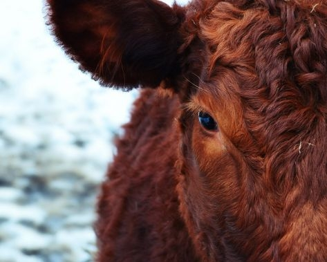 mucca-fonte-veronafiere
