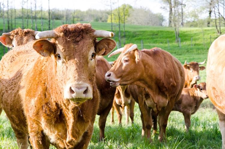 mucca-mucche-bovino-bovini-by-jcavale-fotolia-750