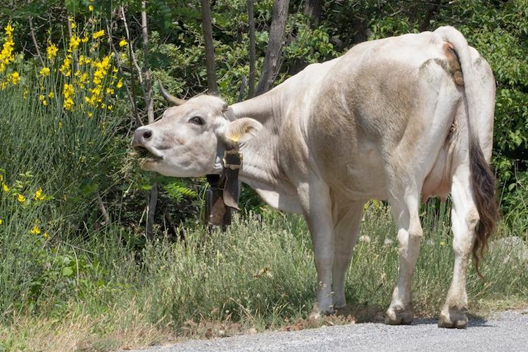 mucca-vacca-erba-agricoltura-montagna-bovini-by-angelaravaioli-fotolia-750