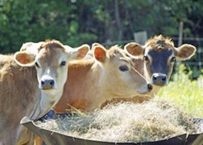 mucche-fonte-cordis-unione-europea-fotografo-thinkstock