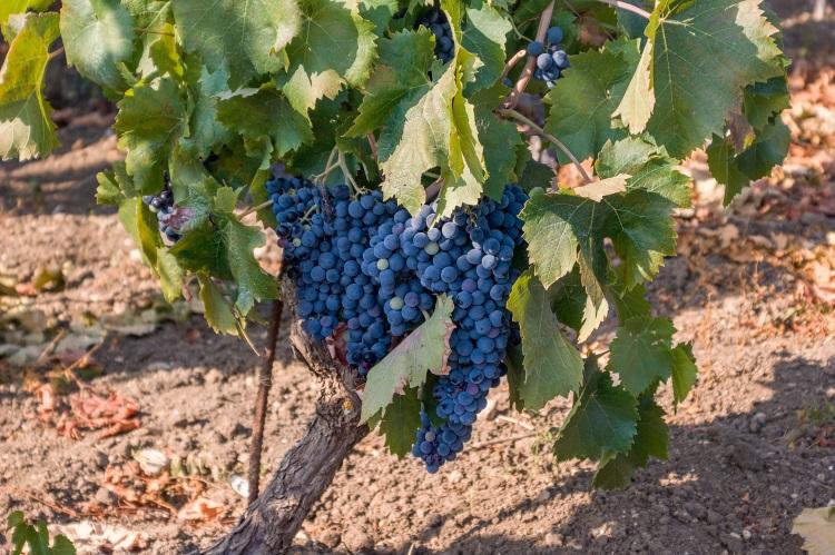 nero-d-avola-grappoli-vite-vitigno-uva-vitivinicoltura-by-manlio-70-adobe-stock-750x499.jpeg