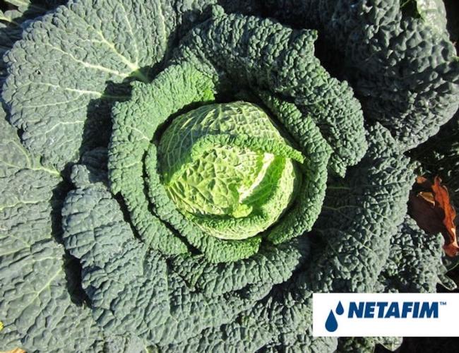 Netafim irrigazione a goccia delle colture ortive for Netafim irrigazione