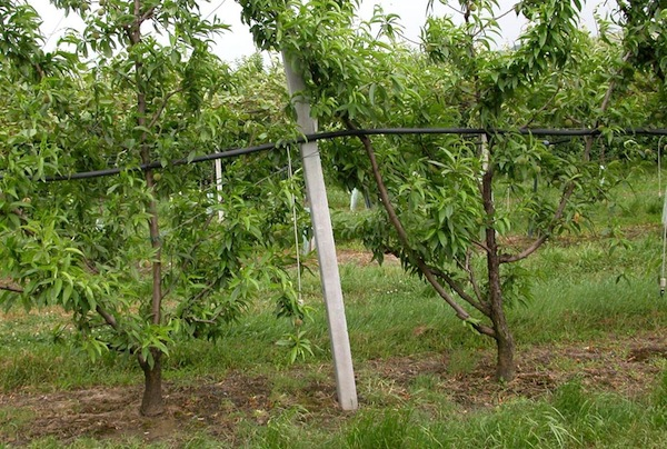 Irrigazione del ciliegeto in puglia news macgest for Tecniche di irrigazione