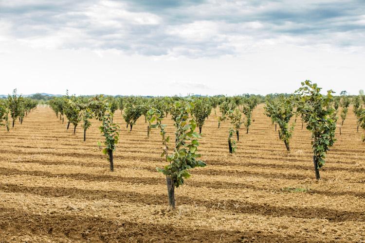 netafim irrigazione a goccia e qualit del nocciolo