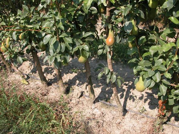 Irrigazione a goccia del pero i consigli di netafim for Netafim irrigazione
