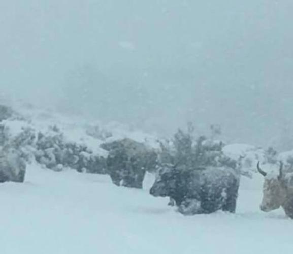 neve-maltempo-sardegna-allevamento-bovino-a-talana-in-ogliastra-gen2017-fonte-coldiretti-sardegna-2