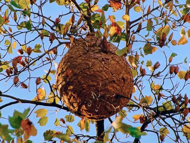 Vespa velutina, trovati nidi a La Spezia - AgroNotizie - Zootecnia