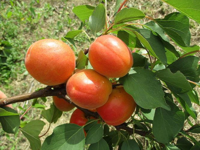 nirosa-albicocche-fonte-geoplant-vivai-20210622-750x500