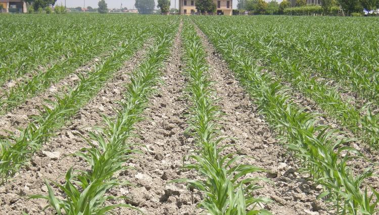 nitrogen-concimazione-mais-sorgo