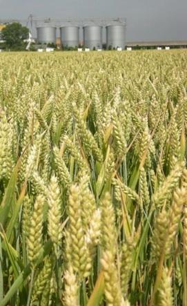 nitrogen-grano