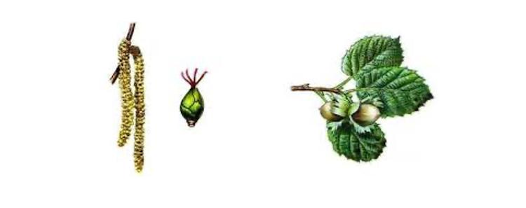 nocciolo-fiori-frutti-fonte-vivai-nicola-202103
