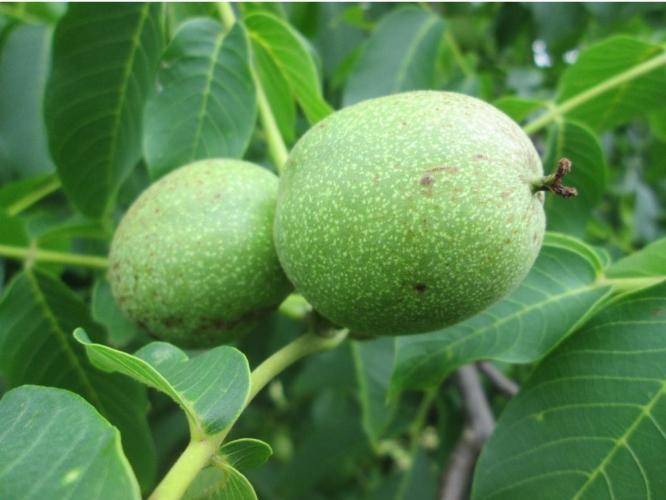 noce-noci-frutti-by-anro0002-wikipedia-jpg