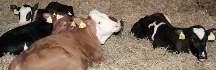 nutreco-sprayfo-vitelli-sani-robusti