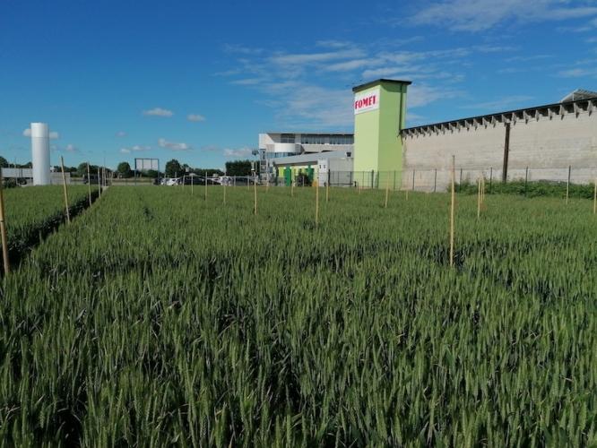 Progetto Nutrigrano: fertilizzanti innovativi per una biofortificazione delle farine - le news di Fertilgest sui fertilizzanti
