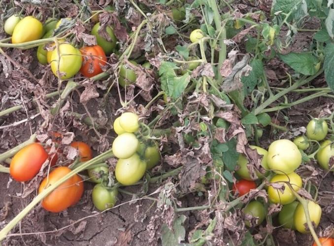 oi-pomodoro-batteriosi-del-pomodoro-fonte-oi.jpg