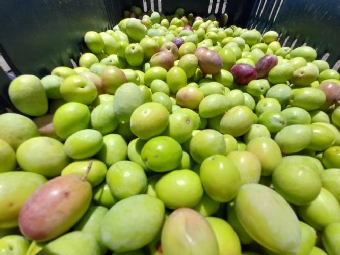 olive-colte-prima-della-invaitura-20-ott-2020-coldiretti-calabria