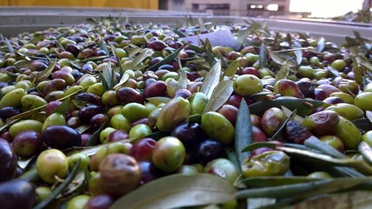 olive-di-peranzana-fonte-agromnia