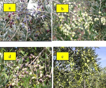 olive-immagini-olivicoltura-superintensiva