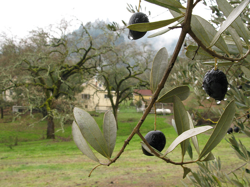 olive-olio1