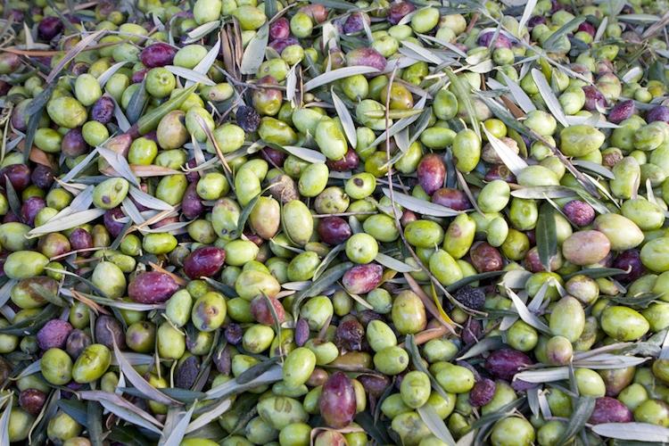 olive-olivicoltura-by-agatalagati-fotolia-750.jpeg