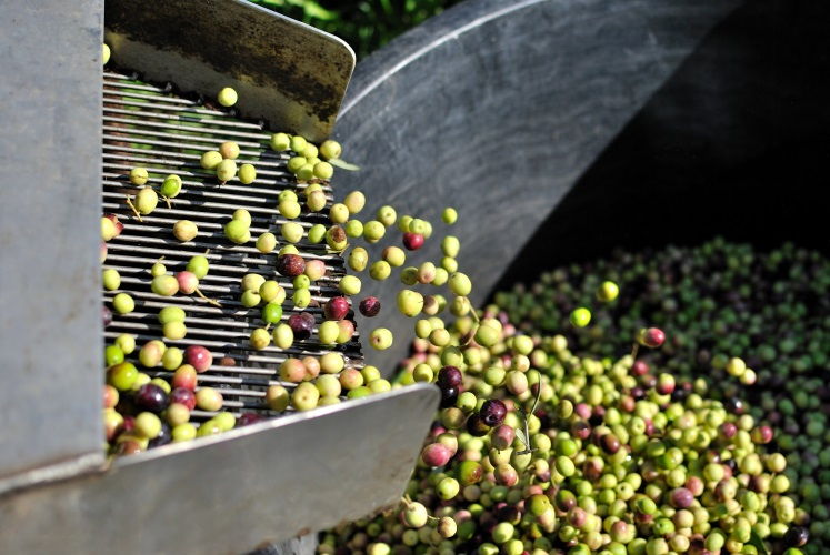 olive-olivicoltura-by-sergiogen-adobe-stock-747x500