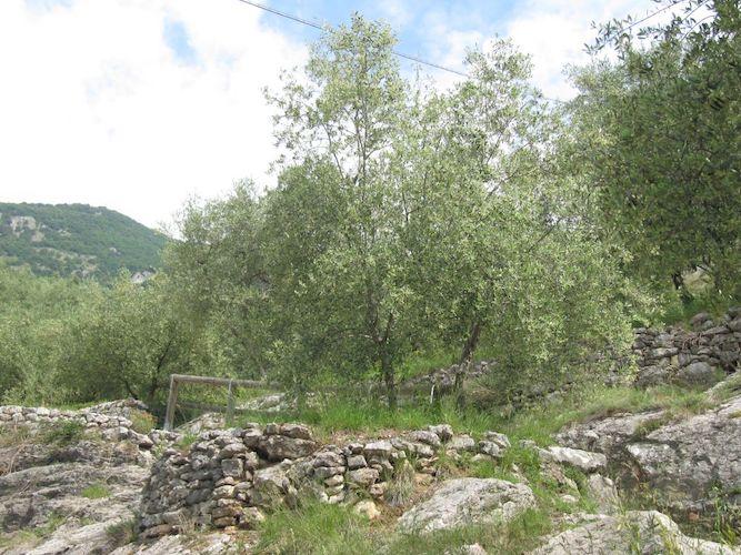 oliveti-trentino-fonte-foto-fondazione-mach.jpg