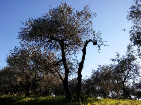 oliveto-by-matteogiusti-agronotizie