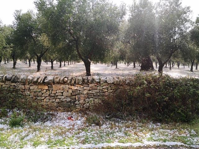oliveto-colpito-da-grandinata-nel-brindisino-24-set-2020-coldiretti-puglia