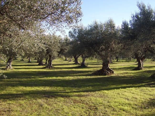 Metodologia Ilsa, maggior produzioni e tolleranza a stress ambientali su olivo - le news di Fertilgest sui fertilizzanti