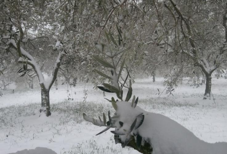 oliveto-neve-inverno-olivo-by-matteo-giusti-agronotizie-jpg