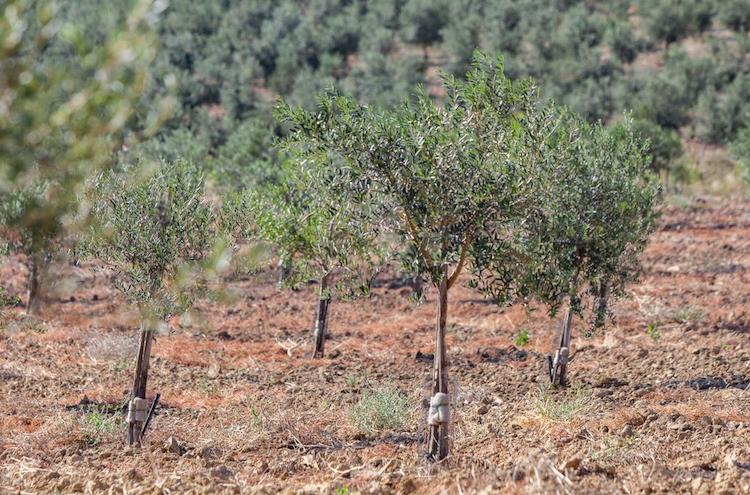 oliveto-subirrigazione-irritec-2021