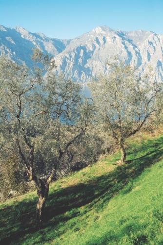 olivi-fonte-consorzio-olio-garda-dop