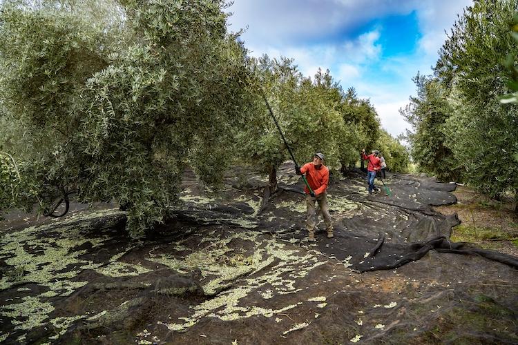 olivi-olivo-olivicoltura-set-2020-fonte-alfa-laval